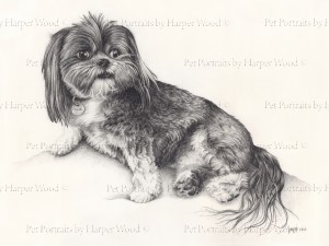 Lhasa Apso Drawing pencil