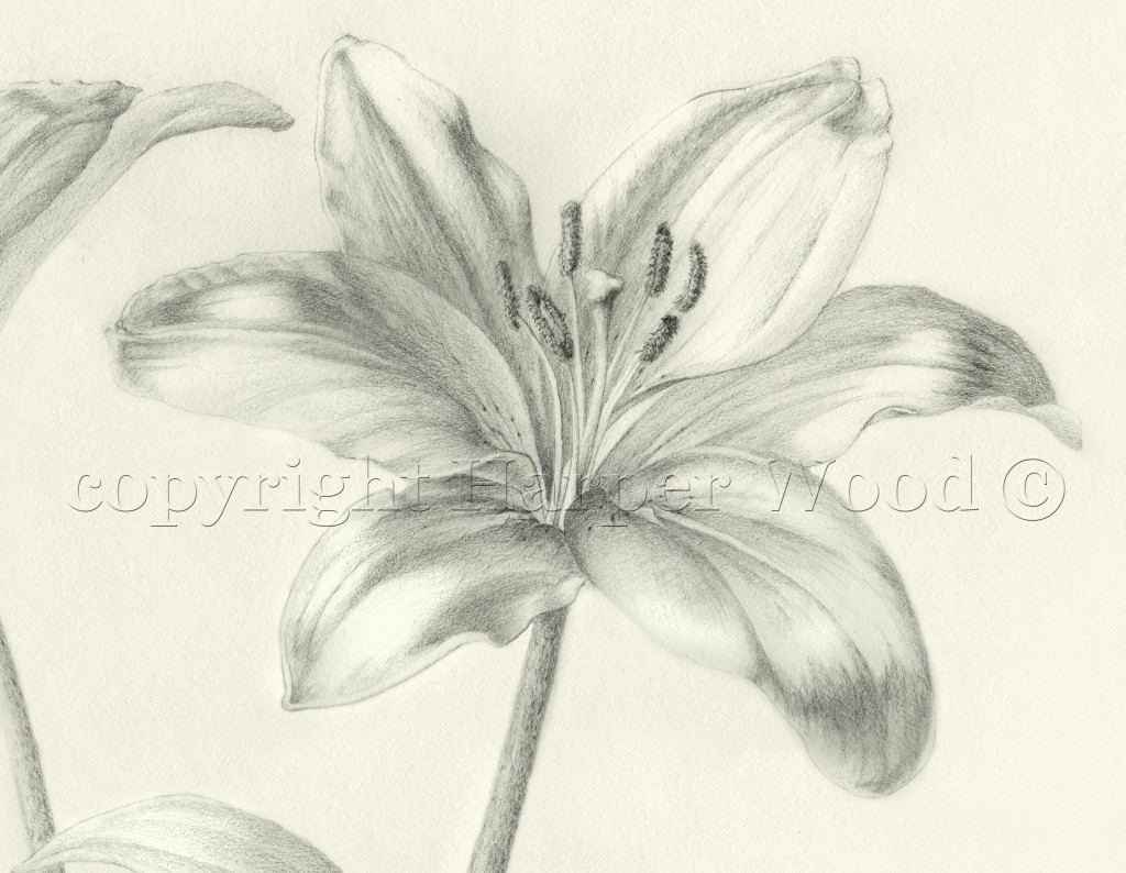 Lillium lily detail