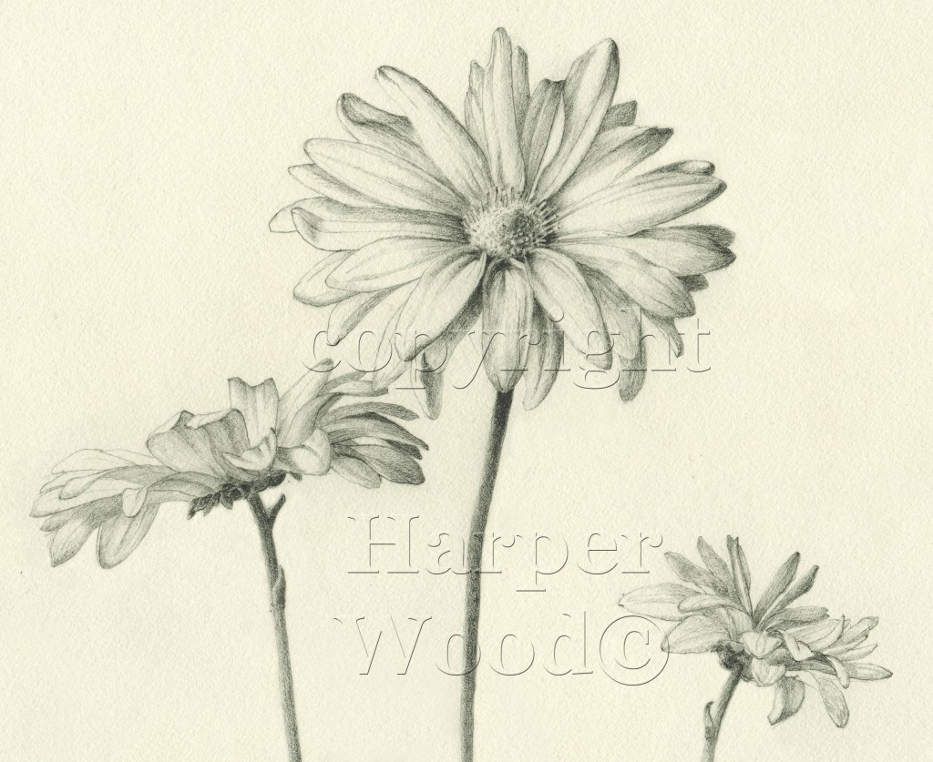 aster daisy detail