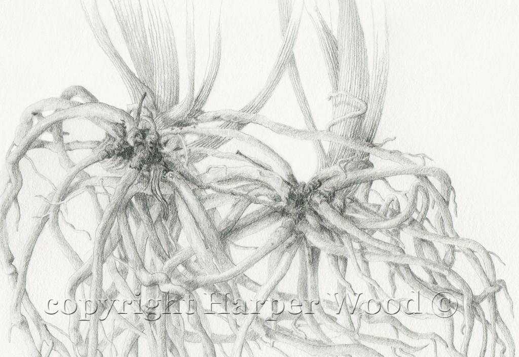 chlorophytum roots detail