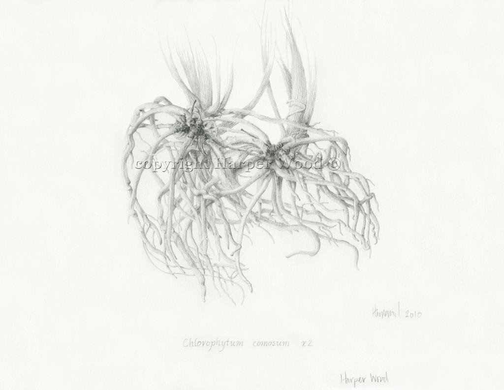 chlorophytum roots (spider plant)