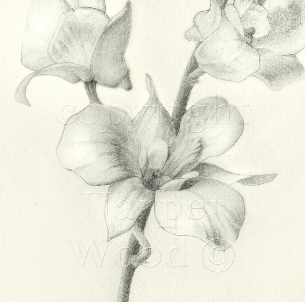dendrobium orchid detail