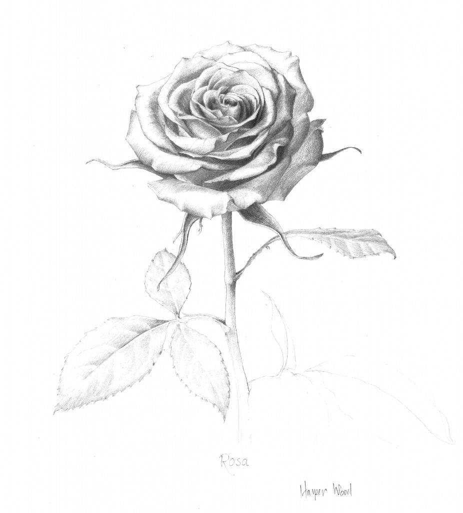 rosecropped